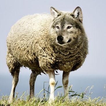 wolf-in-sheeps-clothing-2577813_640 (1)